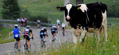 Airolo / ciclisti / mucca